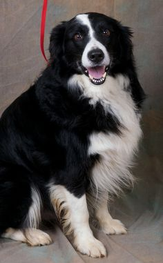 Meet Jake a Petfinder adoptable Border Collie Dog | Versailles, KY | Handsome Jake is certainly one cool gentleman and the definition of intelligent Border Collie. With...
