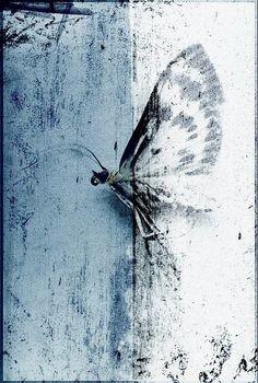 Papillon Nocturne