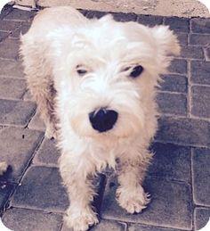 Redondo Beach, CA - Schnauzer (Miniature). Meet Sherry, a dog for adoption. http://www.adoptapet.com/pet/11611867-redondo-beach-california-schnauzer-miniature