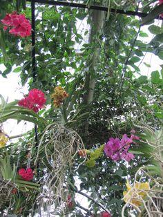 Vanda Orchids by jennysanderson, via Flickr