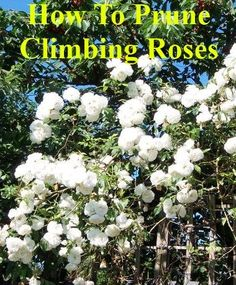 Pruning Climbing Roses - Climbing roses can be divided into two main groups, those that produce blooms in one flush on short side shoots from an established framework of stems, and those that are repeat flowering, bearing blooms in a series of flushed throughout summer.