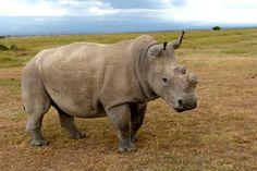 Adopt a Rhino images
