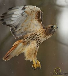 Ideas Tattoo Feather Eagle Red Tailed Hawk For 2019 All Birds, Birds Of Prey, Hawk Tattoo, Hawk Bird, Red Kite, Native American Images, Red Tailed Hawk, Colorful Birds, Bird Watching
