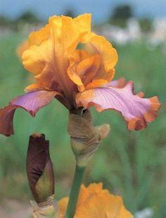 Iris 'Brown Lasso'