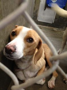 SAFE. 5-28: *CODE RED! URGENT!!* PLEASE SHARE HER! This gorgeous soul has been there way too long and needs out today!! She's a gentle soul that deserves a new home, not to be in this high kill shelter. Beagle female 2-3 years old. Kennel A24. $51 to adopt or FOSTERING IS FREE!!! odessa texas animal control. https://www.facebook.com/speakingupforthosewhocant/photos/a.248402621850650.69312.248355401855372/781813521842888/?type=1&theater