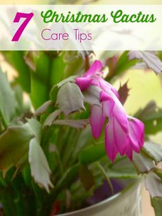 Christmas Cactus Care Tips - How to care for Christmas Cactus. These tips will help you grow a healthy Christmas Cactus that will bloom year after year. - Gardening Tips Cacti And Succulents, Planting Succulents, Cactus Plants, Garden Plants, Indoor Plants, House Plants, Planting Flowers, Cactus Art, Indoor Cactus