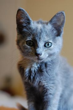(KO) Blue gray kitten. Beautiful, but don't let that serene expression fool you. Naughtiness is bubbling just beneath the surface. He could cop a sideways skitter any time now, then race over and chew on your foot.