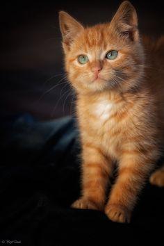Orange tabby kitten i want one soooo bad! Cute Cats And Kittens, I Love Cats, Crazy Cats, Cool Cats, Kittens Cutest, Fluffy Kittens, Baby Kittens, Pretty Cats, Beautiful Cats