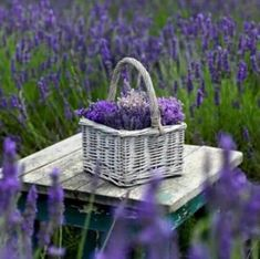 Lavender fields and a basket full of fresh and fragrant lavender flowers. Lavender Cottage, French Lavender, Lavender Blue, Lavender Fields, Lavender Flowers, Purple Flowers, Beautiful Flowers, Growing Lavender, Purple Love