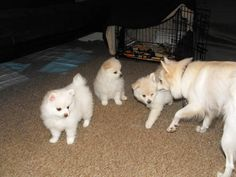 party pomeranian puppies for sale 1000 images about pomeranians for sale on pinterest 7237