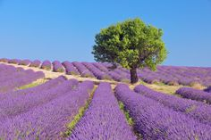 Tree in Lavender Field, Valensole Plateau, Alpes-de-Haute-Provence, Provence-Alpes-Cote d¬¥Azur,... - 600-05524610 � Martin Ruegner Model Release: No Property Release: No  Tree in English Lavender Field, Valensole, Valensole Plateau, Alpes-de-Haute-Provence, Provence-Alpes-Cote d�Azur, Provence, France