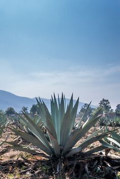 The agave plant is the most famous crop in this part of Mexico because it is used to cultivate mezcal. Agaves, Plant Aesthetic, Desert Aesthetic, Oaxaca City, Planting Succulents, Succulent Arrangements, Succulents Garden, Agave Plant, 17th Century Art