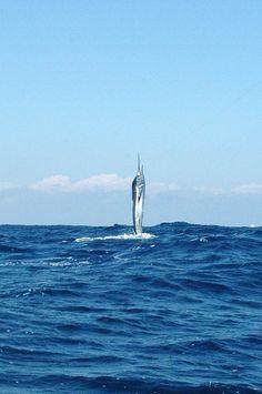 Striped Marlin - Cabo San Lucas
