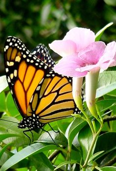 Monarch~ love butterflies and flowers