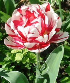Double Late Tulip 'Carnaval de Nice'