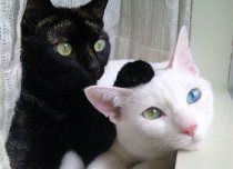 :) reminds me of my cat lucky (black domestic) and my moms cat zoey (white cat w/ two different color eyes blue and yellow)