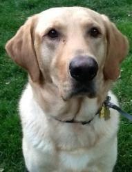 Duke 40 Is An Adoptable Yellow Labrador Retriever Dog In