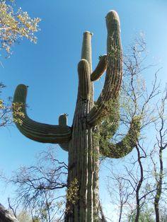 Giant saguaro in Saguaro NP, Arizona