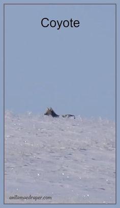 Coyote, RM Montmartre, Saskatchewan, March 2018. Credit: Anita Mae Draper Canadian Wildlife, March, Blog, Photos, Image, Pictures, Blogging, Mac