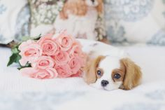 Anna Lee Rose, Cavalier King Charles Spaniel by Leanne Newman