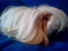 peruvian guinea pigs | Peruvian & Silkie Guinea Pig