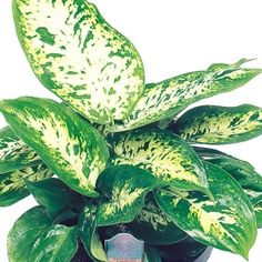 Dieffenbachia - Compacta ~ Botanical Name: Dieffenbachia Maculata Origins: Brazil Light: Medium Light Watering: Daily Growth Speed: Medium Grower: Novice Style: Table Top Home Decor: Casual Variety Code: 53