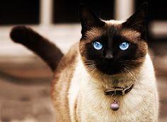 SOS Animal  com amor: Gato Siamês, protegido pelo Rei