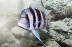 There are 250 species of Lake Tanganyika cichlids in a wide variety of colors and patterns. Glass Aquarium, Planted Aquarium, Victoria Lake, Lake Tanganyika, Tropical Fish Aquarium, Fish Breeding, Saltwater Tank, African Cichlids, Amphibians