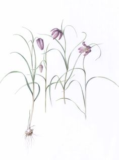 Fritillaria botanical illustration in watercolor Botanical Illustration, Line Drawing, Watercolor, Drawings, Spring, Plants, Design, Pen And Wash, Watercolor Painting