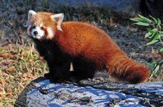 Thomas, a male red panda cub, surveys his new habitat at the Virginia Zoo (Virginia Zoo photo by Winfield Danielson)