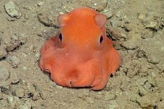 Scientists Have Discovered The World's Cutest Octopus - And They Want To Call It Adorabilis
