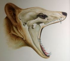grantmuseum:  Thylacine Submitted by Sandra Doyle