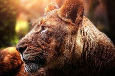 Lion, big cat, predator, sunlight wallpaper