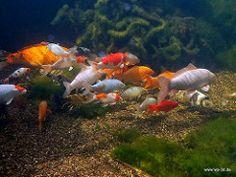 Koi Koiteich Gartenteich naturnah Schwimmteich (Regenbogenelritzen & Springbarsche) Tags: koi gartenteich naturnah schwimmteich koiteich