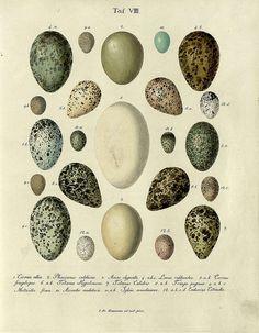 Die Eier der Vögel Deutschlands g, 1818 by peacay, via Flickr