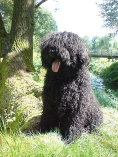 The Puli. I LOVE THIS DOG. I miss my little Buksi....can't wait to get another