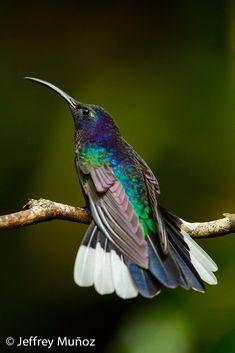 Pretty Birds, Love Birds, Beautiful Birds, Animals Beautiful, Tiny Bird, Small Birds, Colorful Birds, Hummingbird Moth, Bee Eater