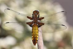 More Broad-bodied Chaser-dragonfly - Flickr - Photo Sharing!