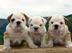 ❤ English Bulldog puppies