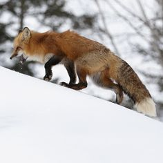 This Fox photographed in upstate Minnesota, climbing this snowy hill in Winter.