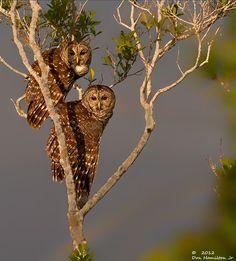 Barred @ by : Don Hamilton Jr. All Birds, Birds Of Prey, Owl Facts, Nocturnal Birds, Barred Owl, Bird Feathers, Nature Photos, Birds In Flight, Mammals