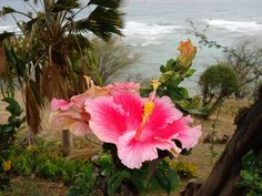 A bright pink Hibiscus looks over incoming waves as a nearby fan palm sways gently in the breeze atop a Hawaiian hillside.    The hibiscus' ruffled edges and large petals contribute to its soft countenance in contrast to its bold colors.  #hawaii #hibiscus