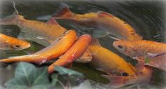 Golden Orfe make excellent small pond fish and are nice compliment to Koi. Ponds Backyard, Koi Ponds, Small Ponds, Fish, Water Gardens, Pictures, Animals, Outdoor, Temple