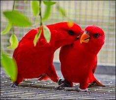 Lori rosso - Red Lory - Eos bornea
