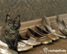 Midnight (Domestic Longhair) - No such thing as too many shoes! (pic by Rachael Hale)