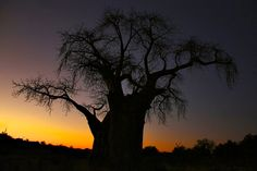 Gorgeous Boabab Sunset pic taken by Vanessa Bristow at Sentinel Ranch in Zimbabwe. Oct 2014
