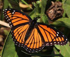 Viceroy butterfly, Limenitis archippus
