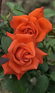 Beautiful Rose Flowers, Flowers Nature, Exotic Flowers, Beautiful Gardens, Marigolds In Garden, Rose Reference, Flowering Bushes, Jungle Gardens, Hybrid Tea Roses