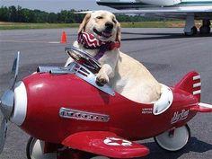 Labradors.com - Album Photo View