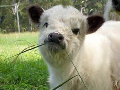 Miniature Breeds Of Cattle That Are Perfect For Small Farms Baby Farm Animals, Baby Cows, Cute Little Animals, Cute Funny Animals, Baby Elephants, Wild Animals, Cow Pictures, Baby Animals Pictures, Cute Animal Photos
